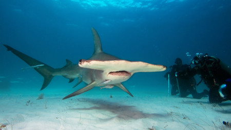 Hammerhead adventures - Liveaboard Diving