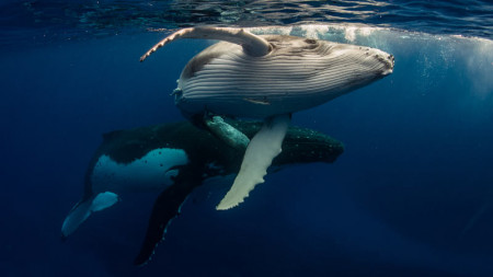 Diving with Whales - Liveaboard Diving