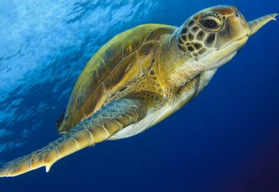 Liveaboard Diving Myanmar - Turtle