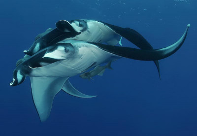 Manta Rays - Liveaboard Diving