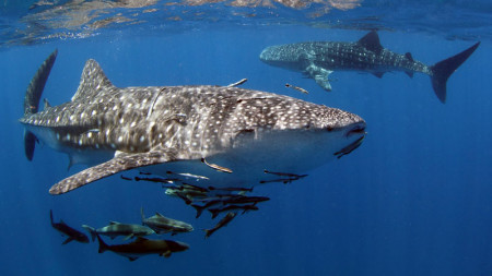 Diving with Whalesharks - Liveaboard Diving