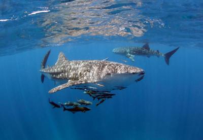 Thailand Liveaboards - whalesharks