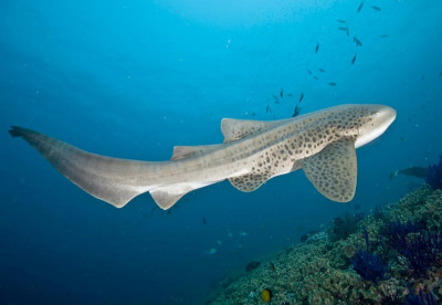 Liveaboards in Thailand - Leopard Shark