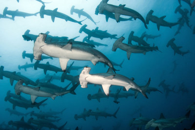 Galapagos Master - Offer - Hammerheads