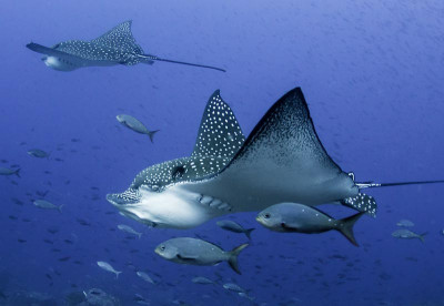Liveaboards in Belize - Eagle Ray