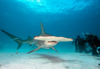 Hammerhead diving - Bahamas Liveaboards