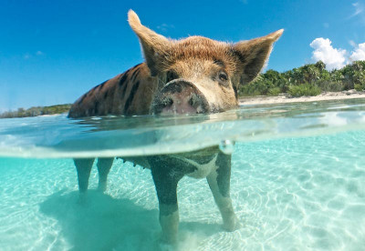 Pig Beach - Liveaboard diving the Bahamas